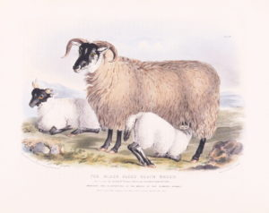 Nicholson (Francis) after William Shiels. The Black-faced Heath Breed, Ewe