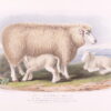 Nicholson (Francis) after William Shiels. The Cotswold Breed, Ewe, 8 years old