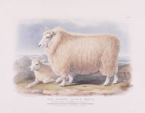 Nicholson (Francis) after William Shiels. The Romney Marsh Breed, Ewe