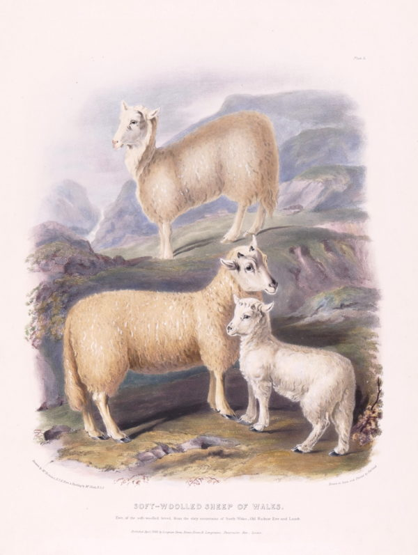 Nicholson (Francis) after William Shiels. Soft-Woolled Sheep of Wales, Ewe and Lamb