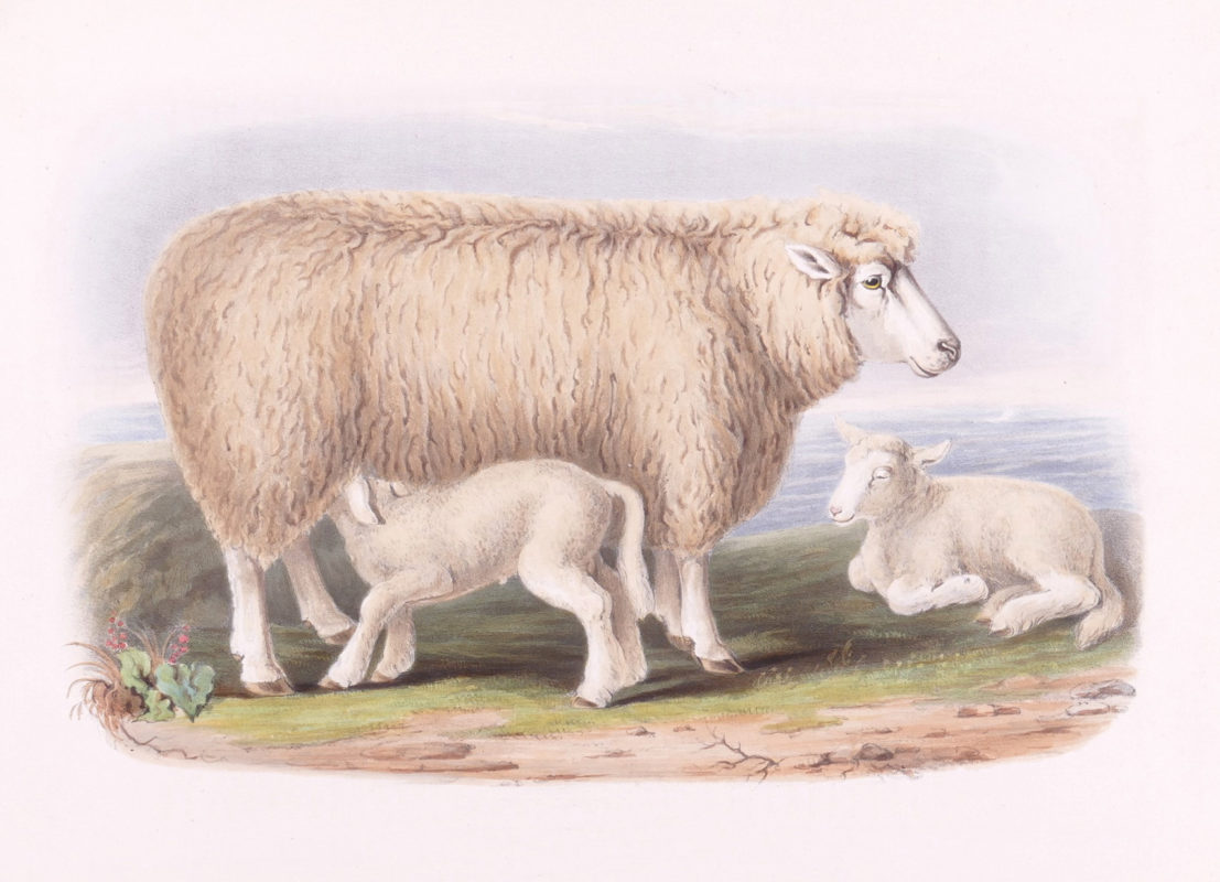 Low's Domestic Animals - Sheep